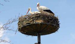 Аисты используют одно и тоже гнездо на протяжении нескольких лет