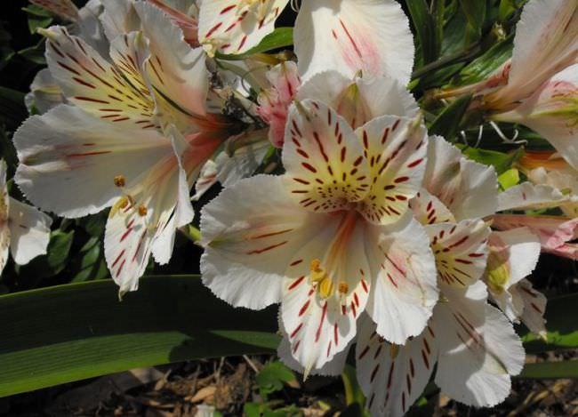 Цветы альстромерия фото