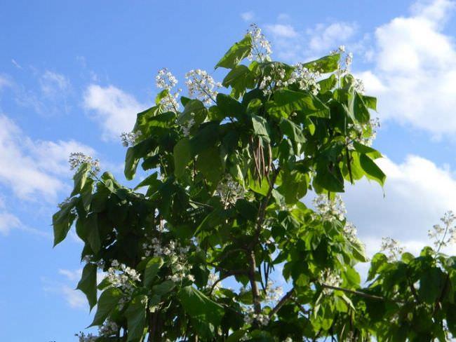 Стильной изюминкой любого дачного участка может стать катальпа листопадная