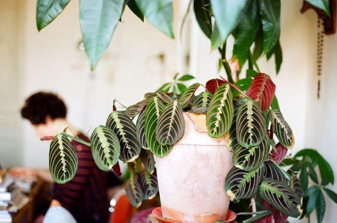 Цветок маранта фото что приносит в дом