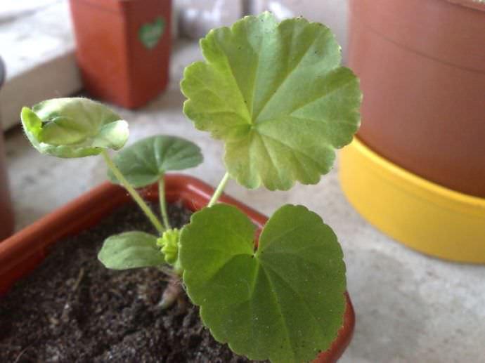 В некоторых случаях желтый цвет листьев у герани провоцируют повреждения корней при неаккуратной пересадке