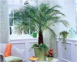 Комнатная или домашняя декоративная пальма – растение особенное