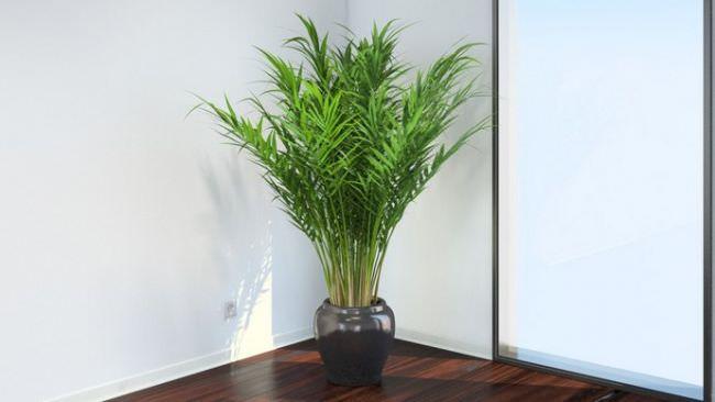 Пальмовидные или пальмовые комнатные культуры – достаточно обширное семейство однодольных растений