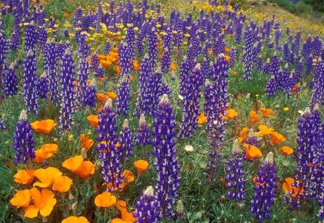 Люпин фото квітів