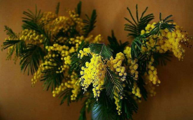 Мімоза квітка фото