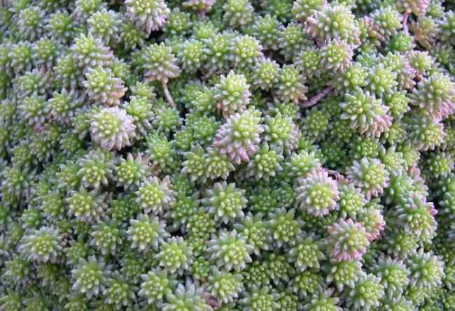 Растение очиток