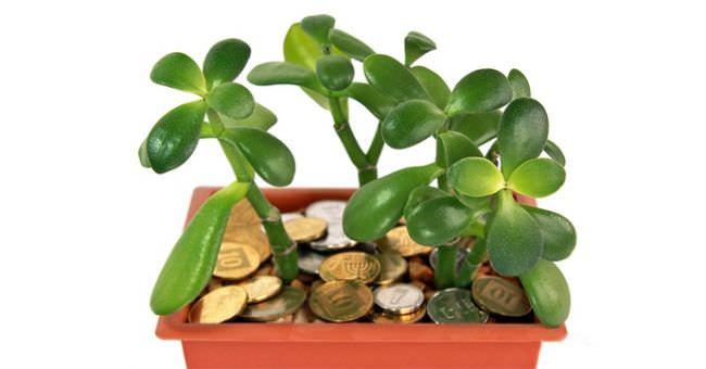 В домашних условиях денежное дерево очень популярно благодаря своим высоким декоративным свойствам и непритязательности в уходе