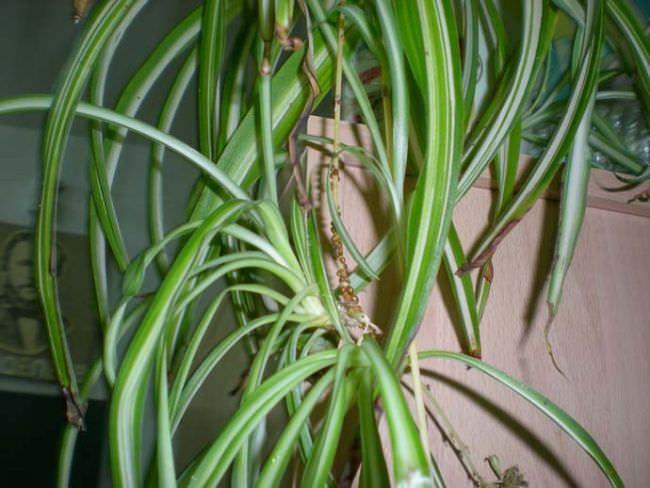 Почему у хлорофитума сохнут кончики листьев