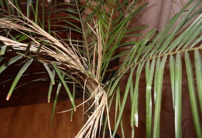 Усыхание молодых листьев является результатом слишком интенсивного солнечного освещения, поэтому пальме нужно обеспечить рассеянное освещение