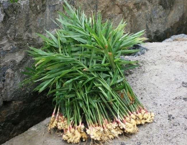 При выращивании с целью получения урожая для использования в пищу, корневище выкапывается в осенний период