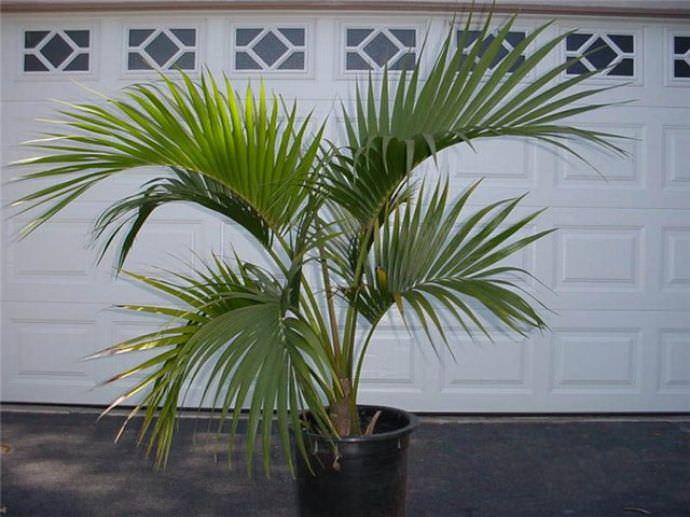 Вазон с пальмой лучше всего устанавливать в тёплых помещениях, вблизи окон южного направления