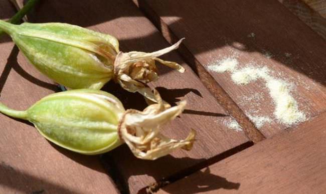 Семенной материал комнатной орхидеи не защищён эндоспермом, поэтому легко уязвим