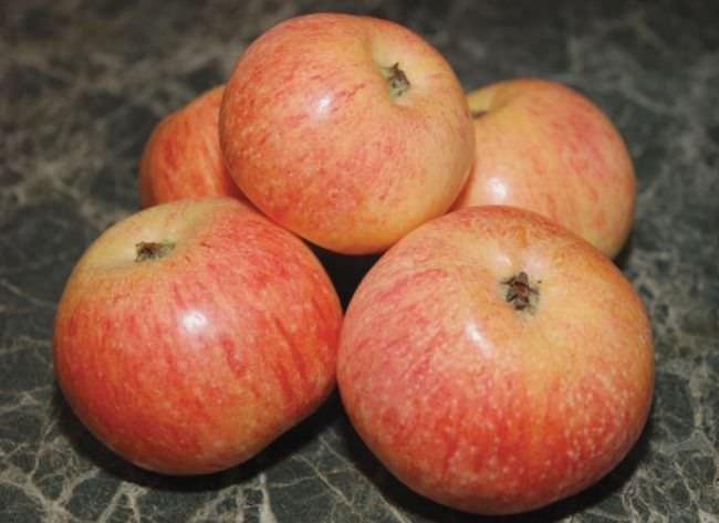 яблуня коник