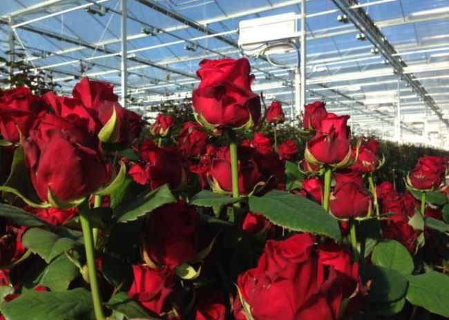 Розы в теплице: секреты выращивания королевы цветов в закрытом грунте END DISABLE ORIGINAL DATE ->«></div> Теплица для выращивания роз должна быть прочной и устойчивой к колебаниям температур   С целью обеспечения нормальных условий растениям даже небольшую теплицу для круглогодичного выращивания роз нужно укомплектовать дополнительным оснащением:    системой принудительной вентиляции с подогревом и/или охлаждением заводимого внутрь теплицы воздуха;  системой полива и доставки к корням и надземной части роз влаги и питательных элементов;  системой экранирования солнечных лучей для повышения количества поступающего зимой естественного света и его ограничения в летнее время;  искусственной подсветкой для создания условий, максимально приближенных к естественным, особенно в зимнее время;  системой обогрева почвы и воздуха, которая работает исключительно в холодное время года. Помимо этих сложных механизированных или полностью автоматических устройств и систем, для выращивания роз в теплице потребуются классические садовые инструменты, представленные мотыжками и рыхлителями, лопатами, емкостями для воды, распрыскивателями и лейками. <br><div style=