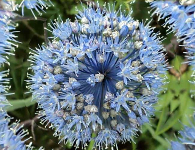 Голубой лук имеет голубые цветки, колокольчатые, в длину достигают 5 миллиметров