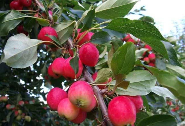 яблуня ранетка
