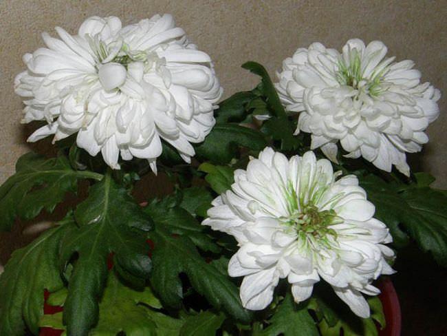 Этот неприхотливый цветок семейства сложноцветных может радовать своих хозяев в ноябрьскую непогоду и даже когда на улице уже лежит снег, если его пересадить в кадку и поместить в хорошо освещаемое помещение