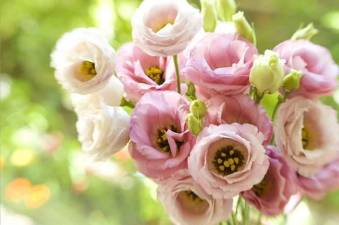 эустома пикоти розовая
