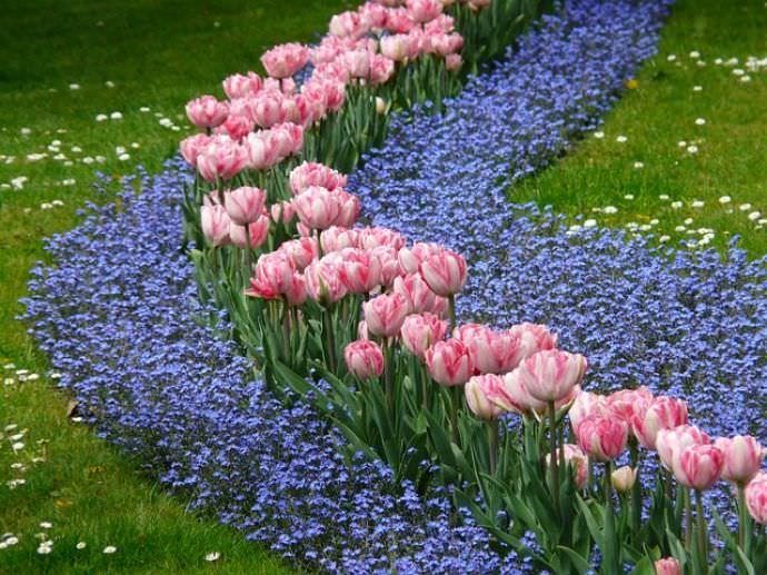 Незабудку широко используют в различных композициях для декорирования сада