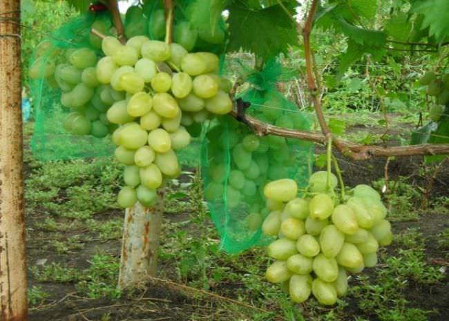Виноград монарх описание сорта фото