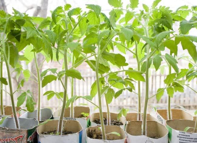Выращивание и формирование куста помидор