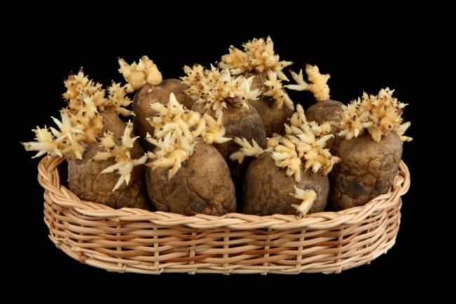 Готовьте картофель к посадке правильно, но не забывайте и о нормах высадки