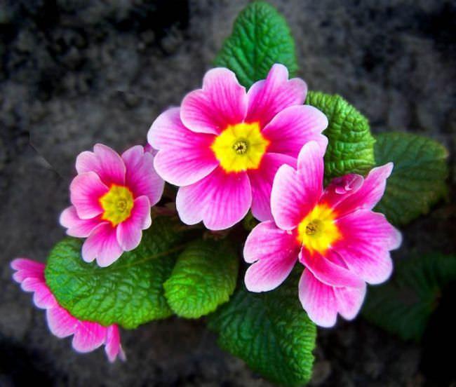 Цветы размножаются также семенами и листовыми черешками
