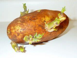 Неподготовленные клубни картофеля прорастают в течении 10-14 дней, показывают ростки на поверхности грядки еще через 12-20 дней