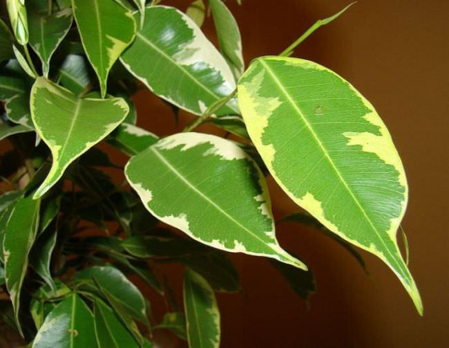 «Голден Кинг» (лат. Ficus Benjamina «Golden King»