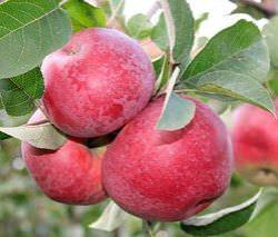 Яблоня сорта Лобо