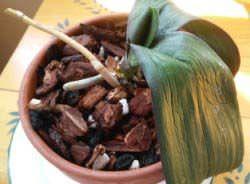 Перед многими цветоводами рано или поздно встает вопрос – как реанимировать орхидею