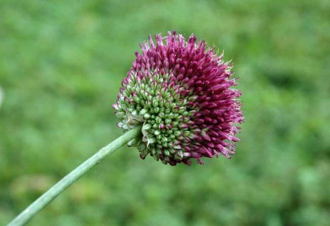 Сорт Allium Sphaerocephalon предпочитает не очень увлажнённые грунты и солнечные места