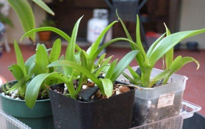Вырастить комнатную орхидею из семенного материала в домашних условиях значительно сложнее, чем большинство других комнатных растений