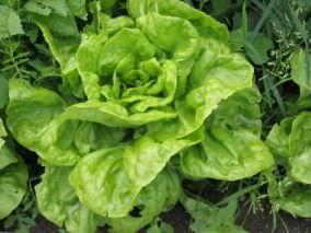 Можно выращивать салат осенью или зимой в парниках
