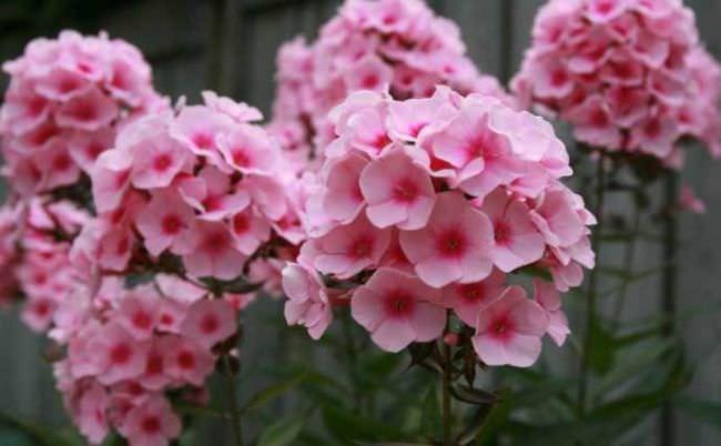 Багаторічники цвітуть все літо фото з назвами