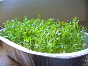 Посейте семена в разные сроки, так, чтобы получать урожай с ранней весны до середины лета