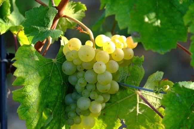 Выращивание винограда в сибири для начинающих