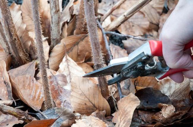 Обрезка ремонтантной малины осенью для начинающих видео