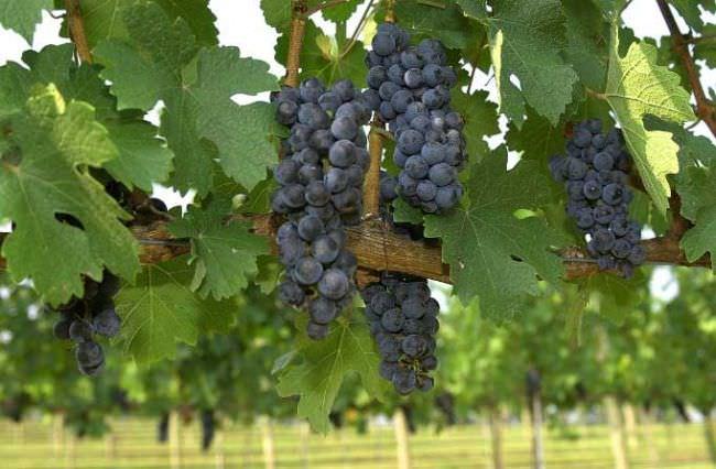 Опора для винограда необходима для того, чтобы виноградная лоза не стелилась по земле