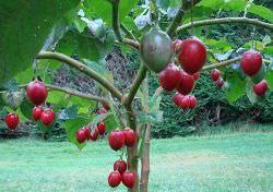 Помидорное дерево – цифоманда