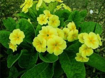 Деление кустов позволит вам не только получить посадочный материал, но и омолодить растения