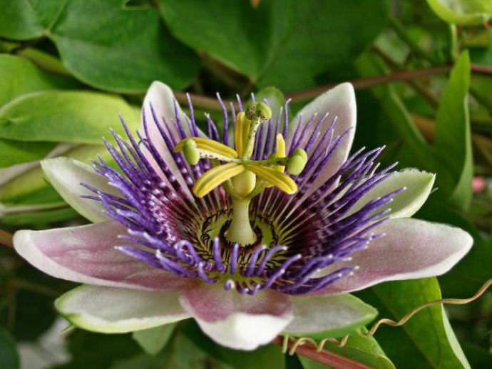 Растения относится к страстоцетны. Неповторимое строение цветка делает пассилофлору неповторимой