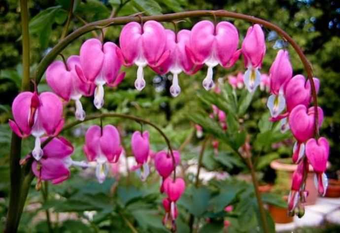 Несмотря на свое печальное народное прозвище «разбитое сердце», такой цветок выглядит очень привлекательно