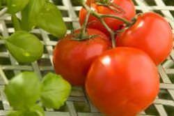Лучшие низкорослые сорта помидор