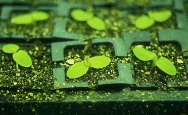 Семена салатов высеивают в маленькие стаканчики, заполненные компостом