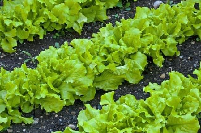 Когда салат размещается на отдельных грядках, обеспечивается максимальный урожай в минимальные сроки