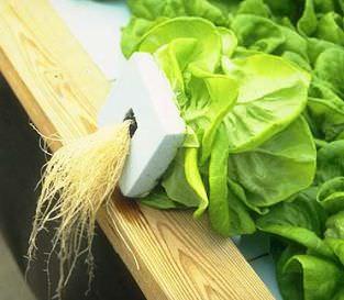 Влажность в месте произрастания салата должна держаться на уровне 60-80%, а температура – не превышать +16+18°С