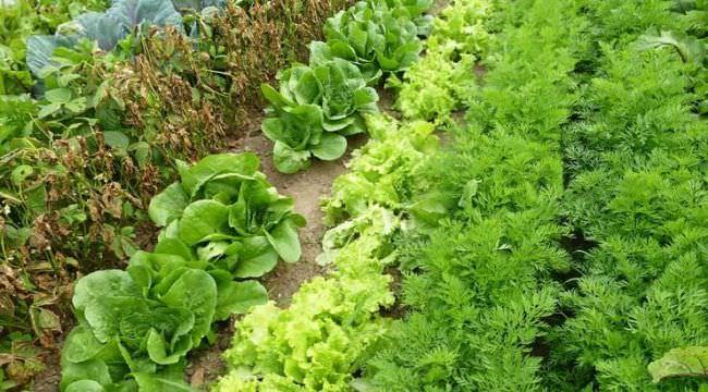 Для осенних урожаев подберите морозостойкие сорта. Высадите их в открытый грунт не позже первой недели августа