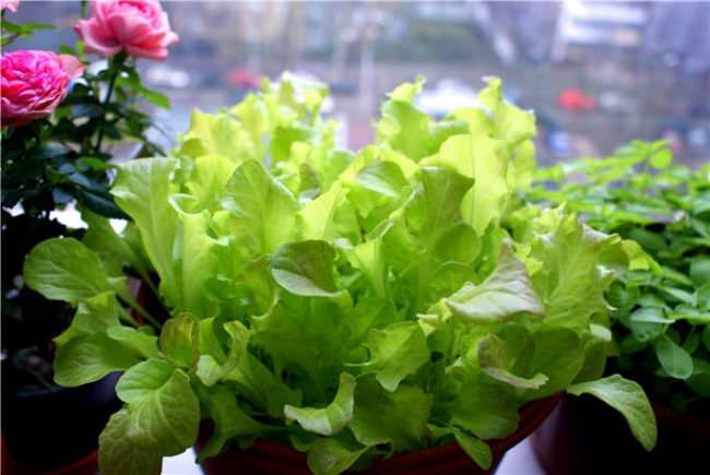 Салат поражают многие насекомые — вредители и болезни. Однако если правильно подготовленная почва, своевременно проводится прополка и полив в нужной дозировке, то вряд ли возникнут проблемы