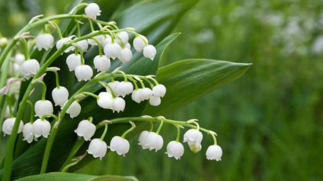 Ландыш – классическое растение для тени и полутени на даче